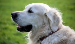 How Long Do Dogs Stay Pregnant: Big and Small Breeds